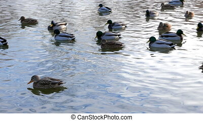 Ducks on the water. Winter