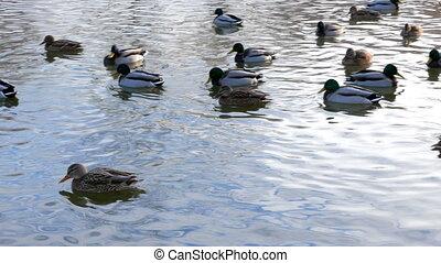 Ducks on the water. Winter