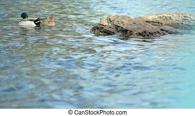 Ducks on water in park, midday - High quality and resolution
