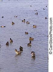 Ducks - Redhead ducks in natural habitat on South Padre...