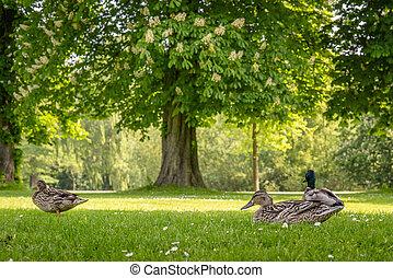 Ducks relaxing in a park