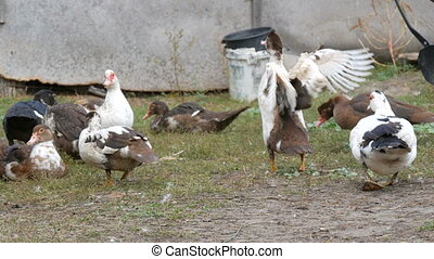 Ducks sit grazes in the courtyard of a house in the village, against the background of a barn or paddock for the night. Farm bird.