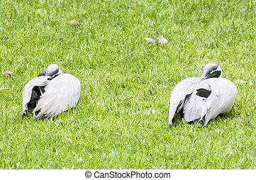 ducks sleeping
