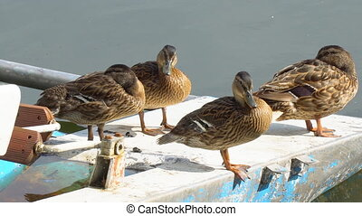 Duck cleans feathers - Ducks stand in front of the camera on...