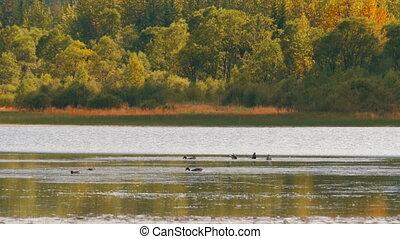Ducks Swim in a Mountain Lake - Ducks swim in a mountain...