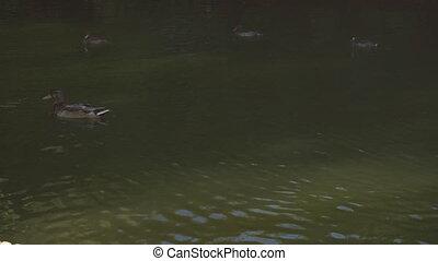 Ducks swim in muddy water - Flock of ducks swims in muddy...