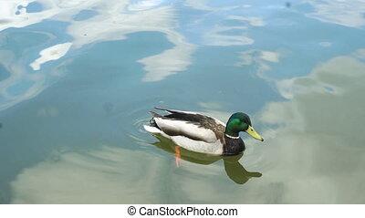 ducks swim in the clean Lake