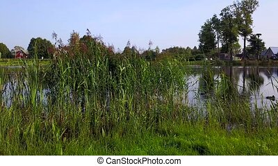 Ducks swim in the lake near the reeds. Aerial survey - Ducks...