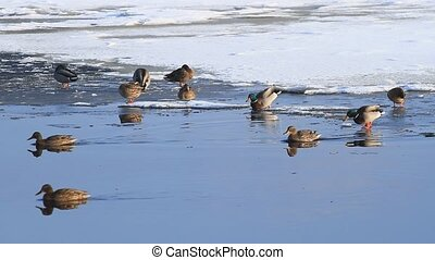 Ducks swim in winter - Ducks swim on the lake in winter