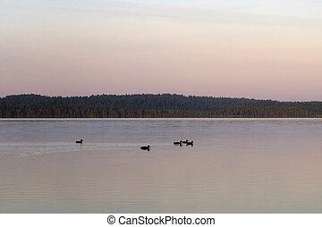 Ducks swim on the lake at sunset.