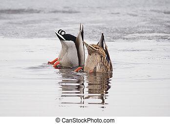 ducks swim upside down