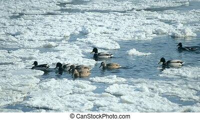 Ducks swim water winter