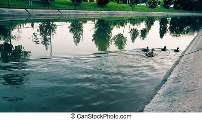 Ducks swimming against?water?flow in the canal - Wild mother...