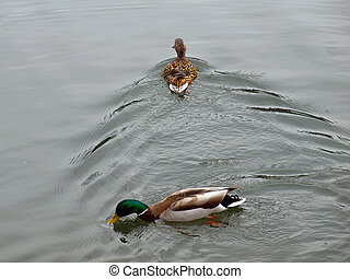 Ducks Swimming at the Edge of a Lake