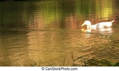 Ducks swimming in a beatiful lake