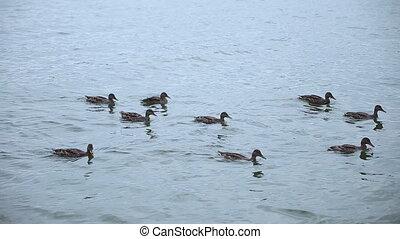 Ducks swimming in a lake