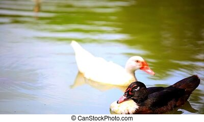 ducks swimming in pond. change of focus from one to the other.