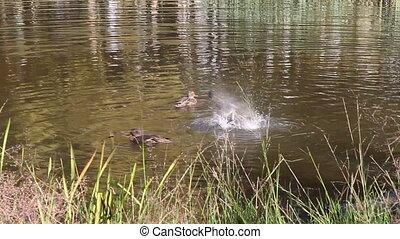 Ducks swimming in swamp in summer.