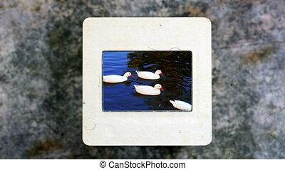 Ducks Swimming In Swamp Slow Motion on vintage slide film