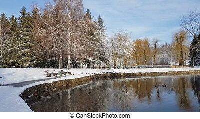 Ducks swimming in the city park lake.