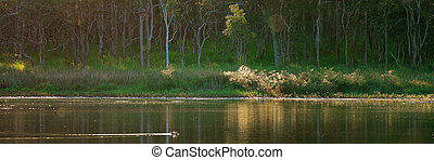 Ducks Swimming Peacefully On A Pond With A Forest Background
