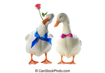 ducks - Two duck  with a rose on a white background