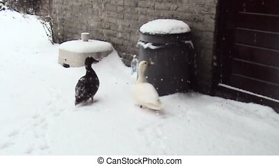 Ducks waiting in the snow for bread.