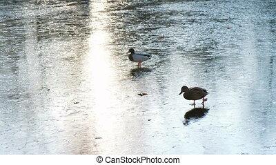 Ducks walk on ice on a frozen lake