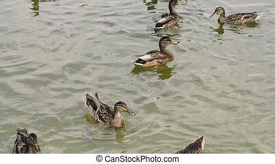 Ducks. Wild ducks swim in the pond.