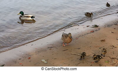 Ducks with ducklings swimming in lake.
