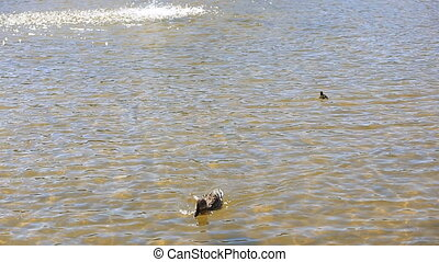 Ducks with ducklings swimming in lake. - Ducks with...