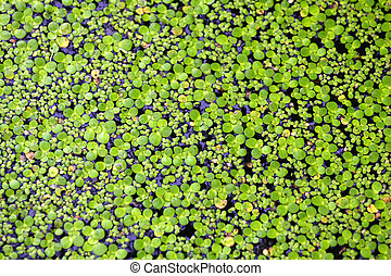 duckweed afloat on water