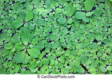 duckweed as background or texture
