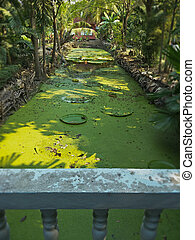 duckweed in a pool