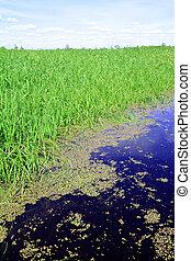 duckweed in marsh