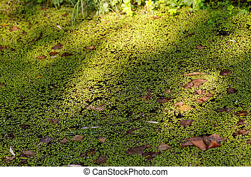 Water surface covered with green duckweed (Lemna)