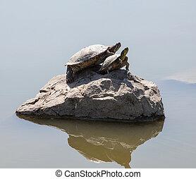 due, acqua, tartarughe, su, il, roccia