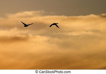due, anatre, volare, in, il, vibrante, cielo tramonto