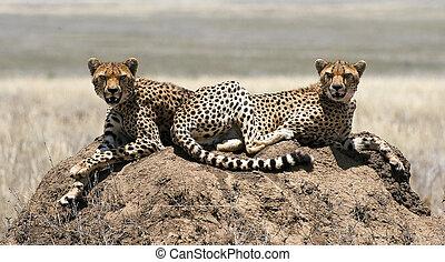 due, cheetahs.