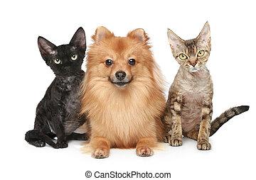 due, devon, rex, gatti, e, spitz, cane