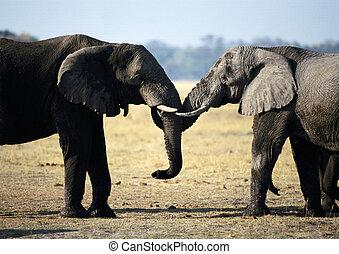 due elefanti, faccia a faccia