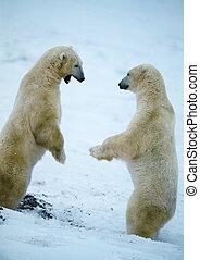 due, orsi polari, levarsi piedi