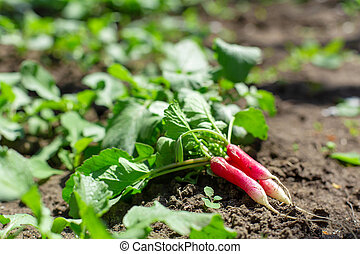 dug fresh young radish lies on the ground in a vegetable garden
