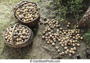 dug potatoes in baskets