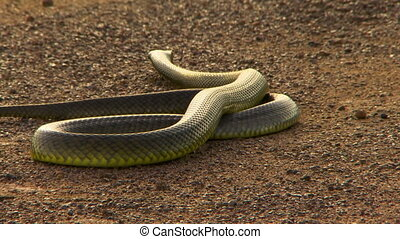 Dugite snake being wrangled with a hook - Wide shot of a...