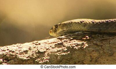 Dugite Snake Slithering On Branch - Handheld, following,...