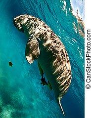 dugong, komende bovendrijv, om te, adem