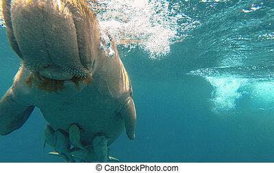 dugong, mangia, grass., rosso, sea., marsa, alam.