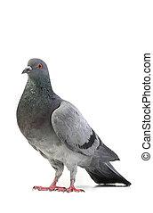 duif, grijs