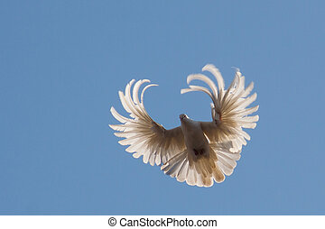 duif, in de lucht